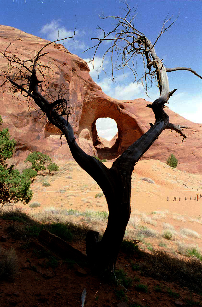 Old Navajo Tree in Monument Valley